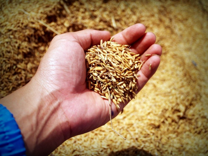 Pierde in greutate cu ajutorul de grâu cultivat