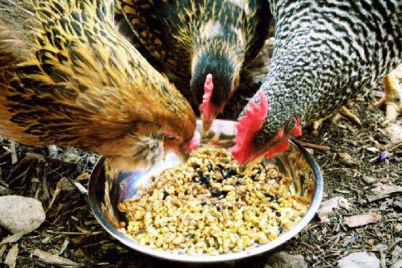 modalități de a îndepărta grăsimea din păsări)