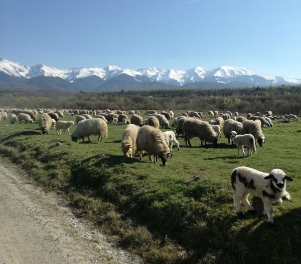 Îmbăierea oilor. Când și cum se face deparazitarea externă a ovinelor prin îmbăiere