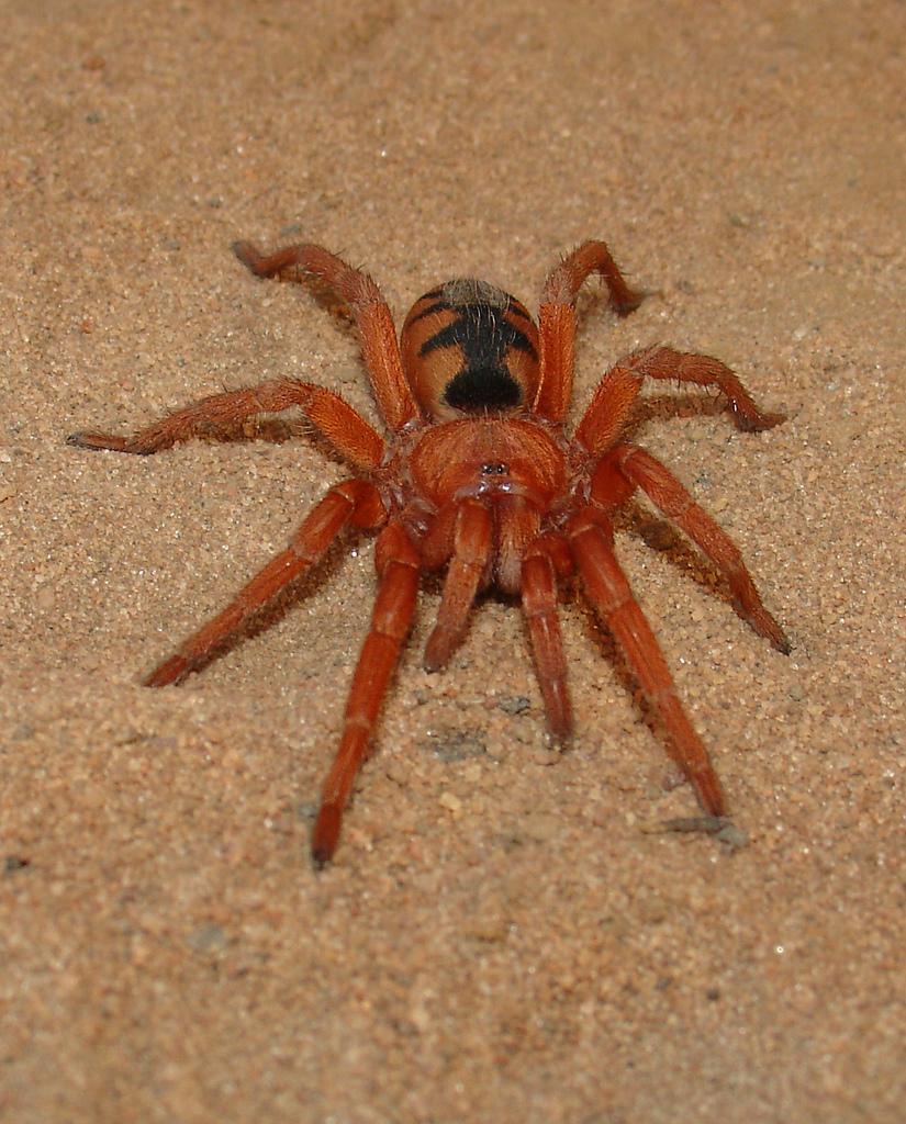 scădere în greutate în tarantule)