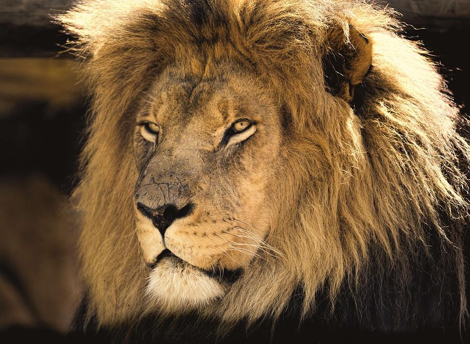 Leu - Lion - sudstil.ro
