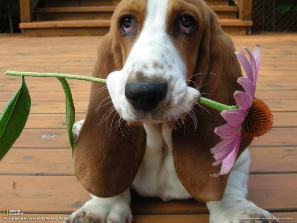 Beagle-basset hound - ce este această rasă?