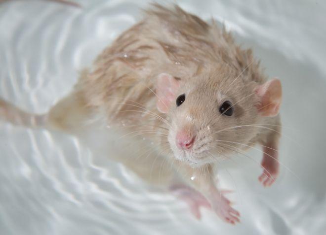 cum să îndepărtați grăsimea pentru a face șobolan