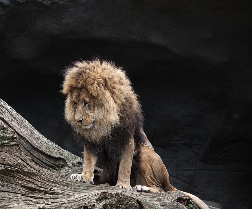 pierderea în greutate a leului