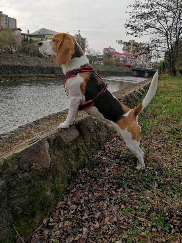 beagle gras pierde în greutate