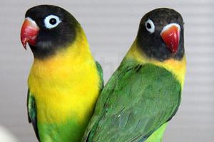 modalități de a îndepărta grăsimea din păsări