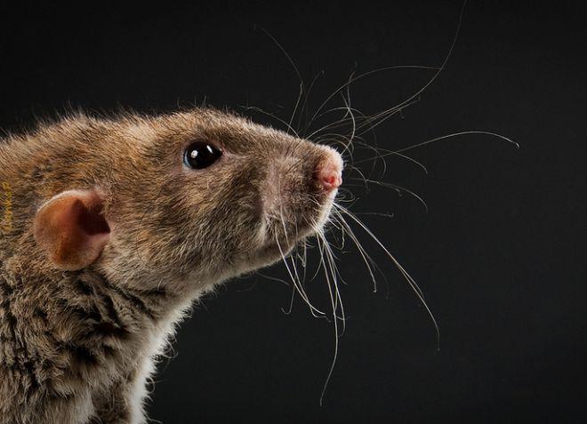 Cum pot scăpa de șobolani într-o casă privată? Cum să scapi de șobolani în hambar.
