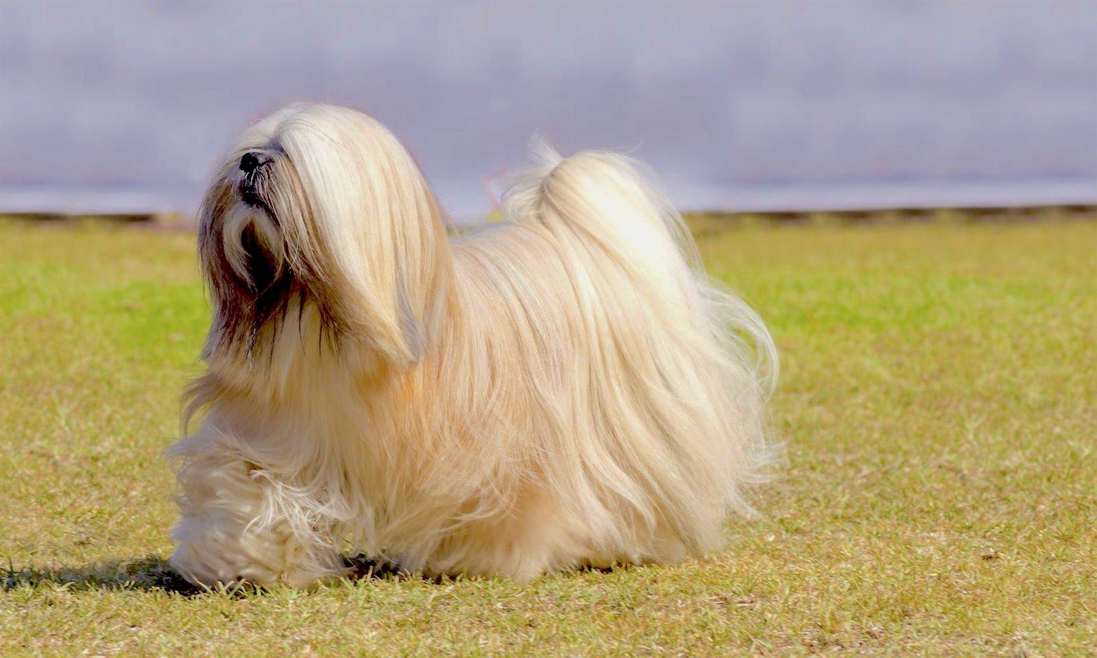 Lhasa Apso - Rase de câini