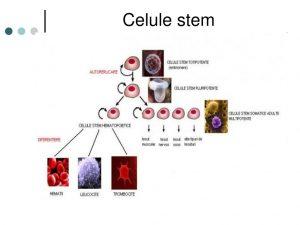 Pierderea în greutate a celulelor stem