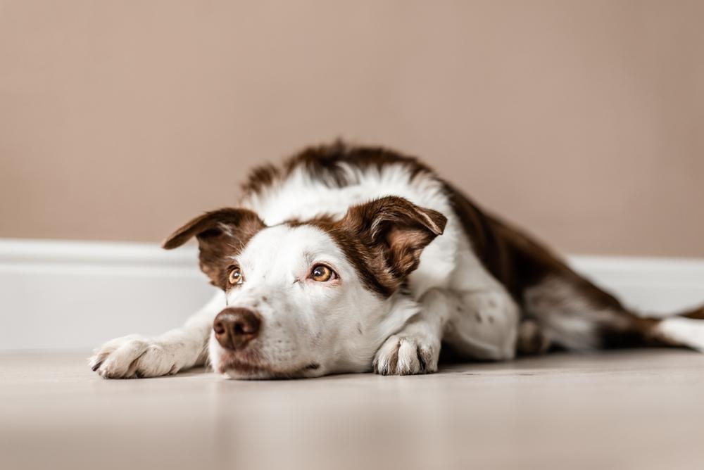 sfaturi pentru pierderea în greutate pentru animalele de companie)