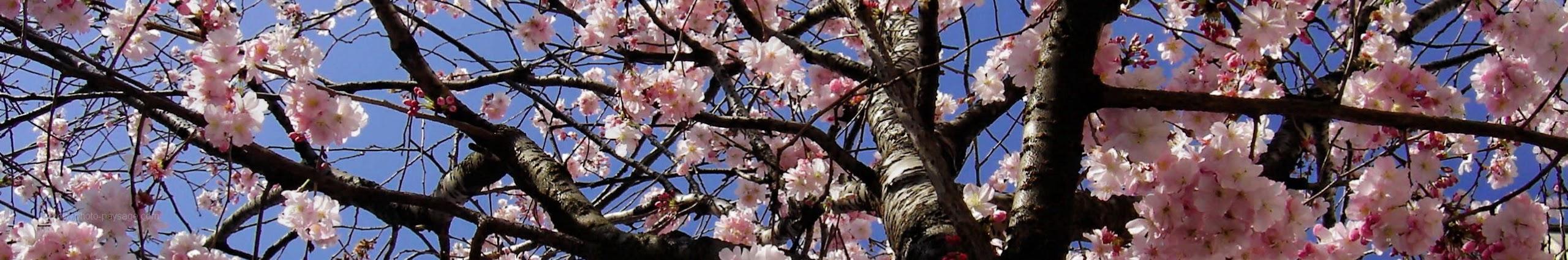 slăbire sakura)