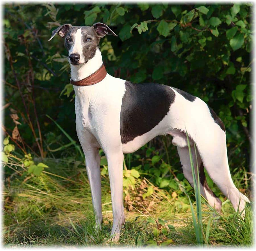 scădere în greutate greyhound
