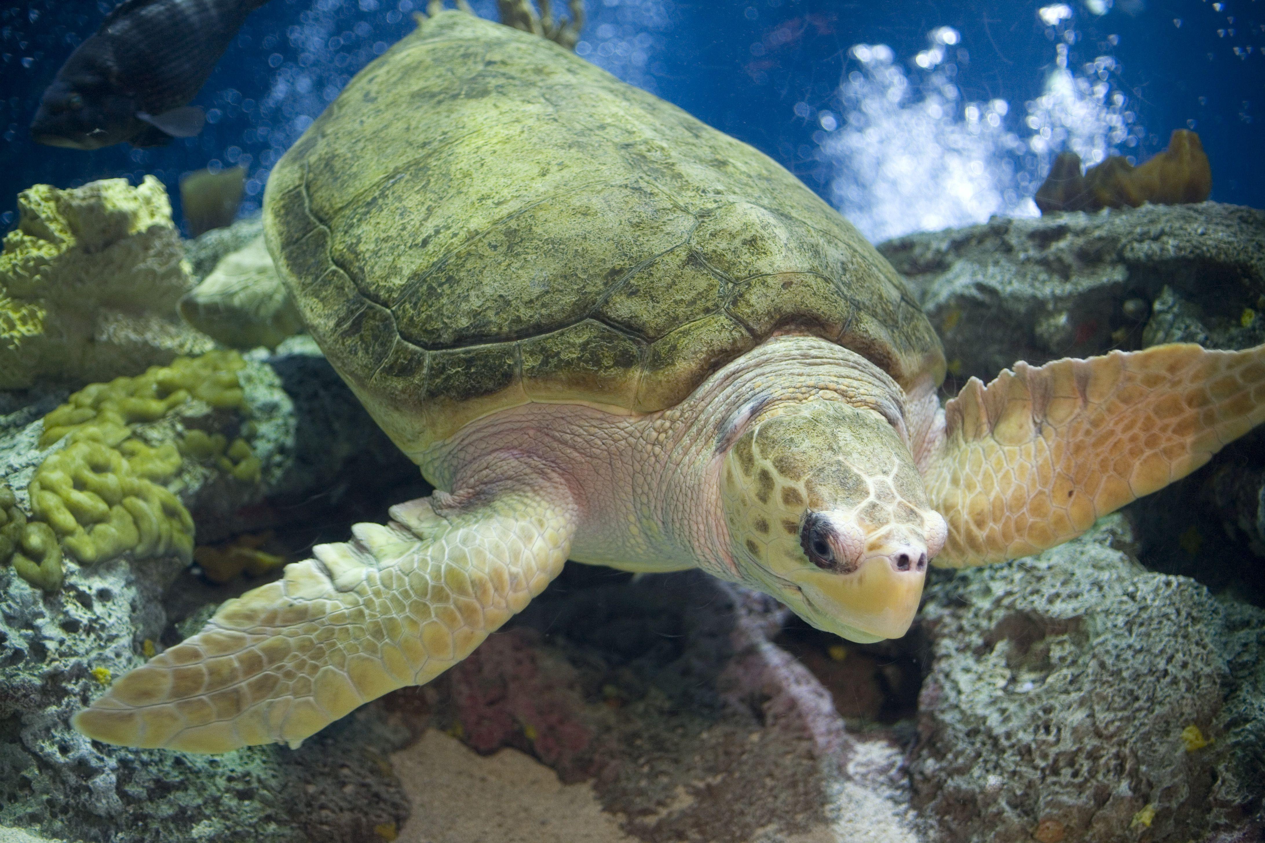 cum a scăzut țestoasa în greutate)