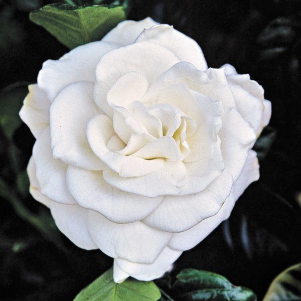 gardenia pierde in greutate)