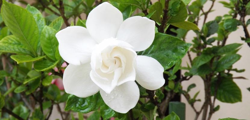 gardenia pierde in greutate