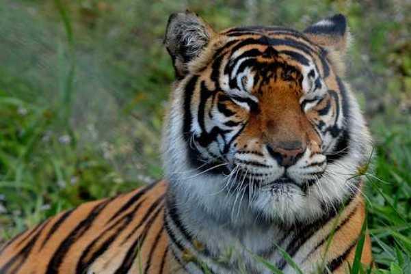 Cum arata cea mai mare felina din lume, nascuta dintr-un tigru si un leu