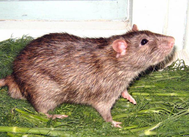 cum să îndepărtați grăsimea pentru a face șobolan)