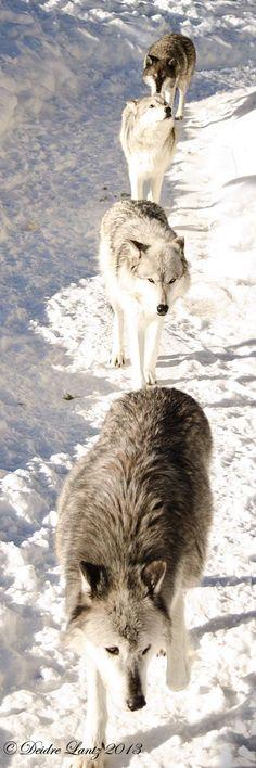 pierdere în greutate lup robb)