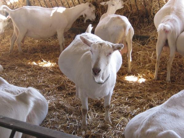 Factori care influenţează producţia de lapte la capre