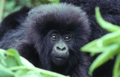 pierderea în greutate a gorilei