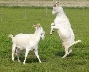 pierderea în greutate de capră pierderea în greutate ridicați hdl