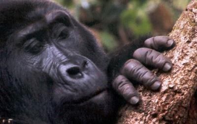 pierderea în greutate a gorilei)